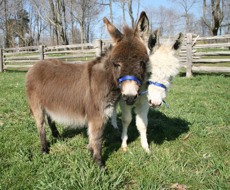 Mini_donks
