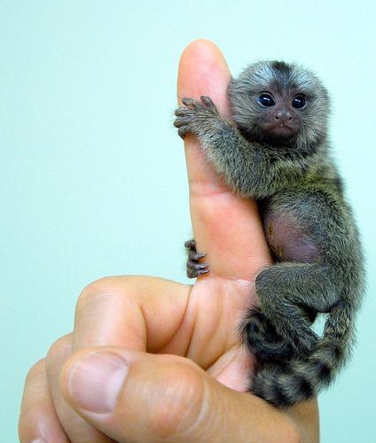 Baby_marmoset