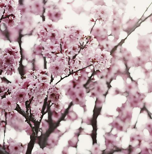Cherry_blossom_1