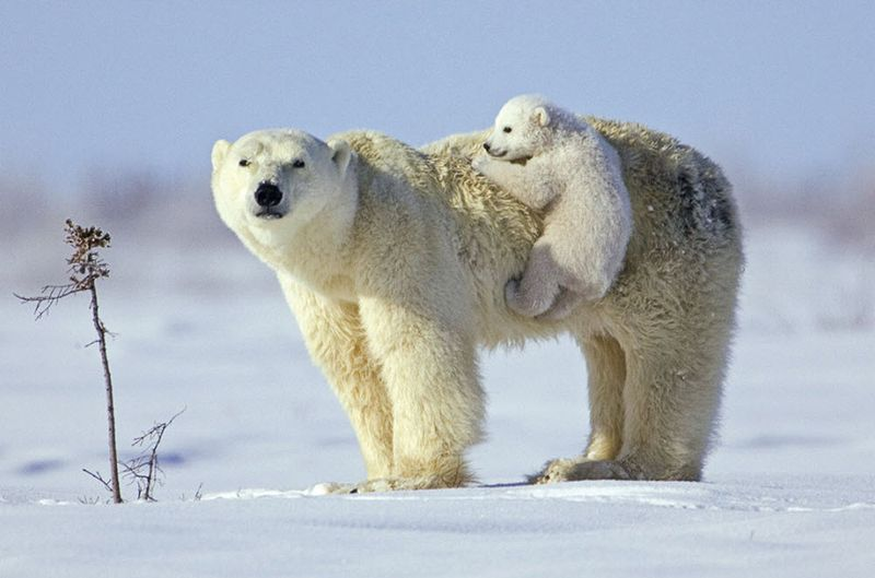 Polar_cute