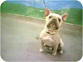 Frenchie_adopt