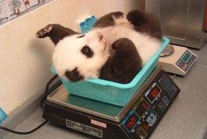 Baby_panda_2